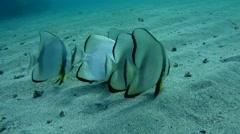 Orbicular batfish (Platax orbicularis) Stock Footage