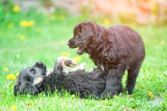 Two puppies dogs play - stock photo