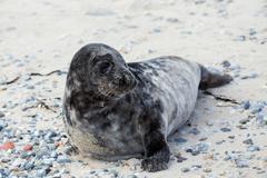 Young atlantic Grey Seal portrait - stock photo