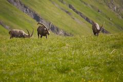 Alpine Ibex Grazing Stock Photos