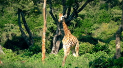 Wild Giraffe standing in front of static camera closeup. Wild Nature background. Stock Footage