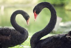 Black swans in love Stock Photos