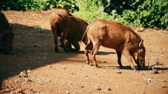 Two wild boar sniffing ground. Nature background with copyspace. Static camera. - stock footage