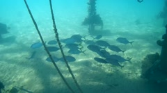 Yellowspotted trevally (Carangoides fulvoguttatus) Stock Footage