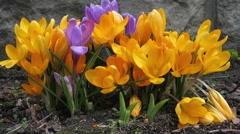 Beautiful spring crocuses. - stock footage