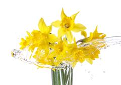tied narcissus flowers isolated on white background - stock photo