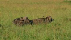 Wild Buffalo in savanna safari sitting on grass. Kenya. Wild animal nature. - stock footage