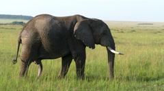 Standing Elephant slow moving close up camera safari in savanna. Wild animal. - stock footage