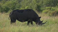 Rhino pasturing in savanna safari static camera closeup view. Africa. Kenya. - stock footage