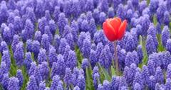 Single tulip with purple flowers 4k Stock Footage