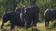 Elephants pasturing in savanna safari static camera closeup view. Africa. Kenya. - stock footage