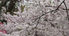 4k sakura,beautiful cherry blossoms tremble in wind. Stock Footage