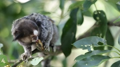 Marmoset Monkey Stock Footage