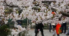 4k tourists to view sakura,cherry blossoms festival in QingDao park,china. Stock Footage