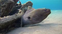 Giant moray (Gymnothorax javanicus) Stock Footage