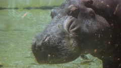 Sleeping hippo has fish nibbling on his face Stock Footage