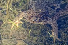 Portrait of a pair of mating Common Toad (Bufo bufo) - stock photo
