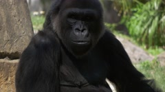 Male Gorilla looks into camera before grabbing a branch and walking away - stock footage