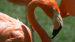 Sleepy flamingos cleaning themselves and taking a nap - stock footage