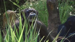 Chimpanzee staring off into space Stock Footage