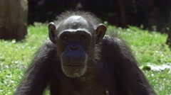 Chimpanzee Looks Around Before Staring into Camera, 4K Stock Footage