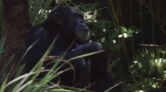Chimpanzee gets up and walks with others Stock Footage