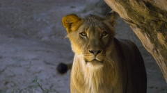 Young male lion emerges from behind rock and looks around Stock Footage