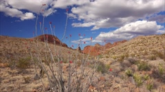 Blooming Ocotillo in Big Bend National Park Stock Footage