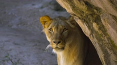 Young male lion emerges from behind rock and stares into camera Stock Footage