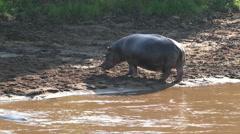 Hippo walking on river shore in dust safari static camera.  Africa. Kenya. - stock footage
