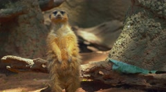 Meerkat looking around before whipping head to look behind Stock Footage