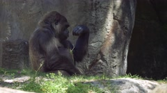 Gorilla picks up stick and starts munching on leaves Stock Footage