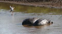 Two Hippos in river with Marabou. Safari. Africa. Tanzania. Ngorongoro. - stock footage