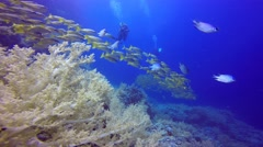 Underwater videographer filming a flock of colorful snappers fish. Stock Footage