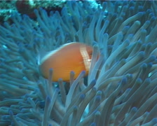 Pink anemonefish feeding, Amphiprion perideraion, UP6010 Stock Footage