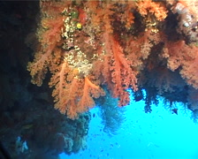 Unidentified yellow soft coral in cavern, Scleronephthya sp. Video 6035. Stock Footage