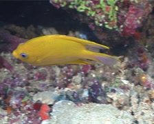 Golden damsel swimming, Amblyglyphidodon aureus, UP6039 Stock Footage