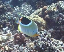 Saddled butterflyfish feeding, Chaetodon ephippium, UP6048 Stock Footage