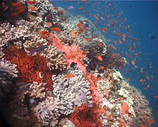 Ocean scenery fluorescent red variation, on shallow coral reef, UP6098 Stock Footage