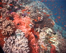 Ocean scenery fluorescent red variation, on shallow coral reef, UP6099 Stock Footage