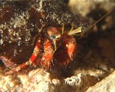Longeye hermit crab feeding at night, Dardanus lagopodes, UP6118 Stock Footage