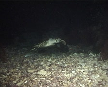 Hawksbill turtle swimming at night, Eretmochelys imbricata, UP6120 Stock Footage