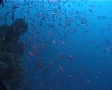 Magenta slender anthias spawning and schooling at dusk, Luzonichthys waitei, Stock Footage