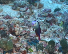 Decorated dartfish hovering, Nemateleotris decora, UP6182 Stock Footage
