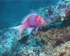 Squarespot anthias courting, Pseudanthias pleurotaenia, UP6185 - stock footage
