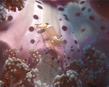 Hellsfire anemone walking, Actindendron plumosum, UP6214 Stock Footage