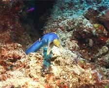 Blue ribbon eel gaping, Rhinomuraena quaesita, UP6225 Stock Footage