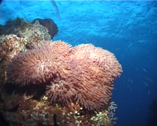 Magnificent sea anemone at dusk, Heteractis magnifica, UP6258 Stock Footage