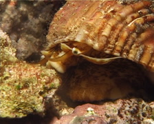 Unidentified turban snail walking at night, Turbo sp. Video 6277. Stock Footage