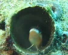 Piano fang blenny hiding, Plagiotremus tapeinosoma, UP6297 - stock footage